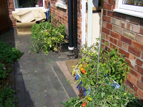 Tomato plants growing outside a house