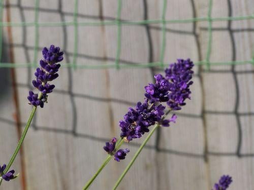 lavender growing in the garden
