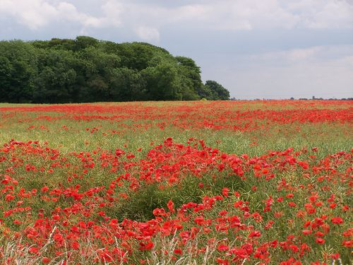 Field of poppies red flowers