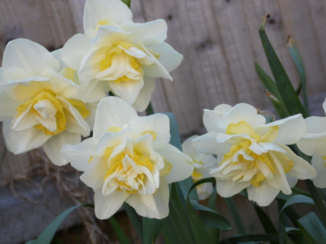 Pick Daffodils to Bring Spring Colours into Your Home
