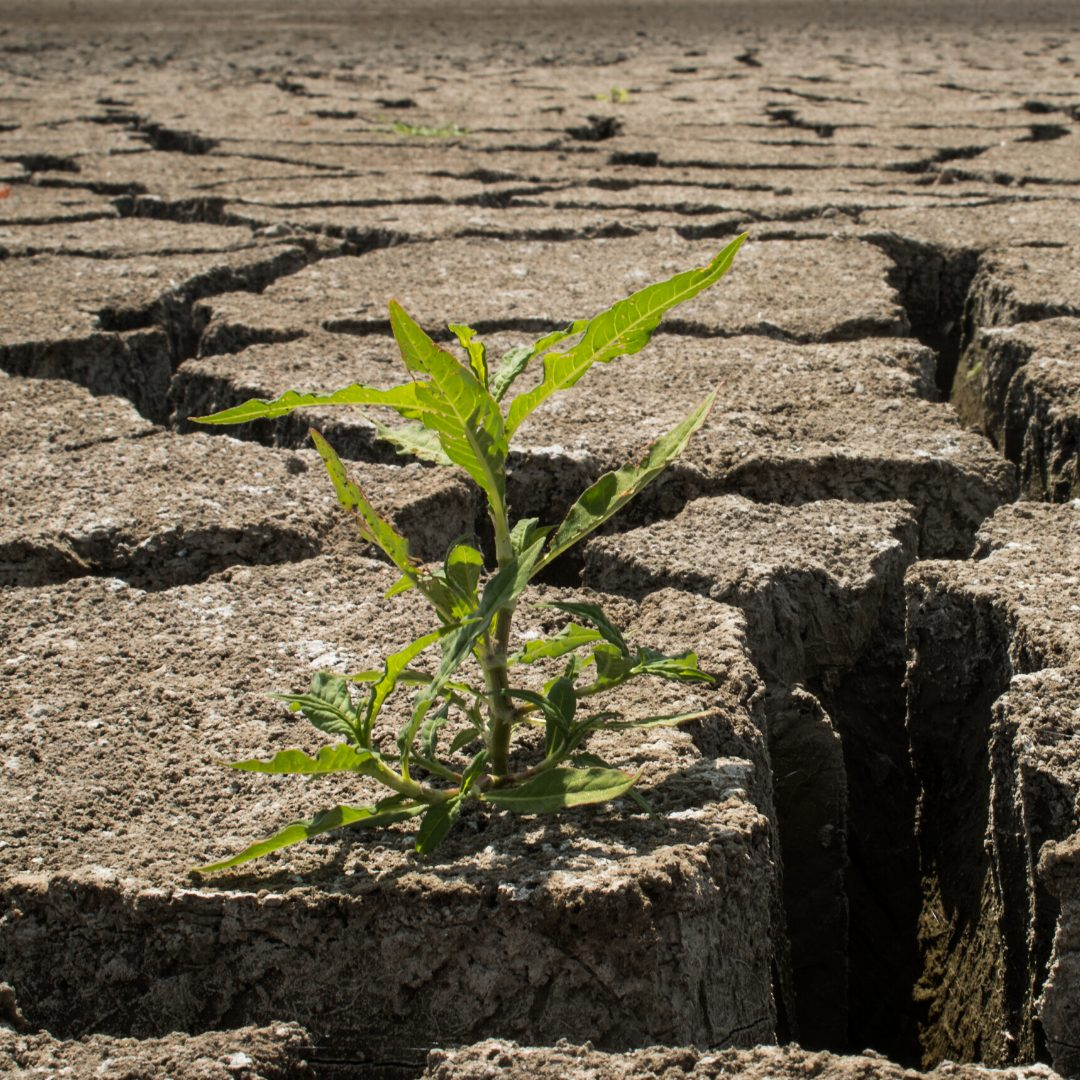 plant growing in parched and cracked land