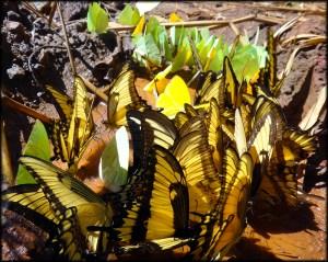 Iguazu Butterflies