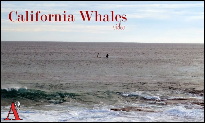 california whales video cover