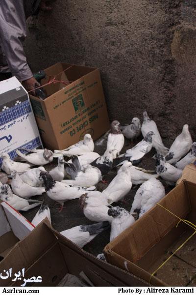 قیمت مرغ زنده دراستان فارس
