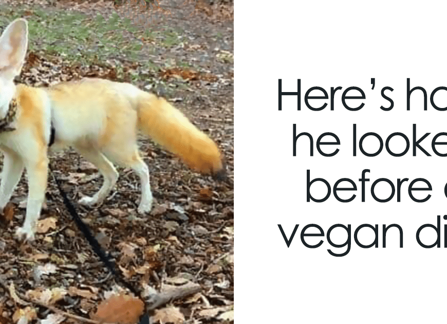 Vegan Woman Forced Her Fennec Fox To Go Vegan, And Heres What Happened