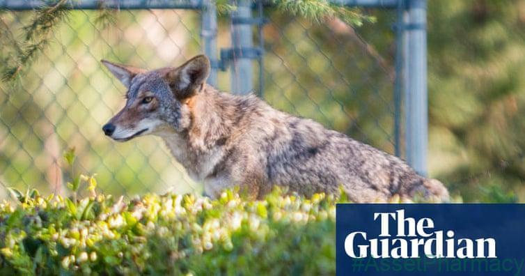 High-cat diet: urban coyotes feast on pets, study finds