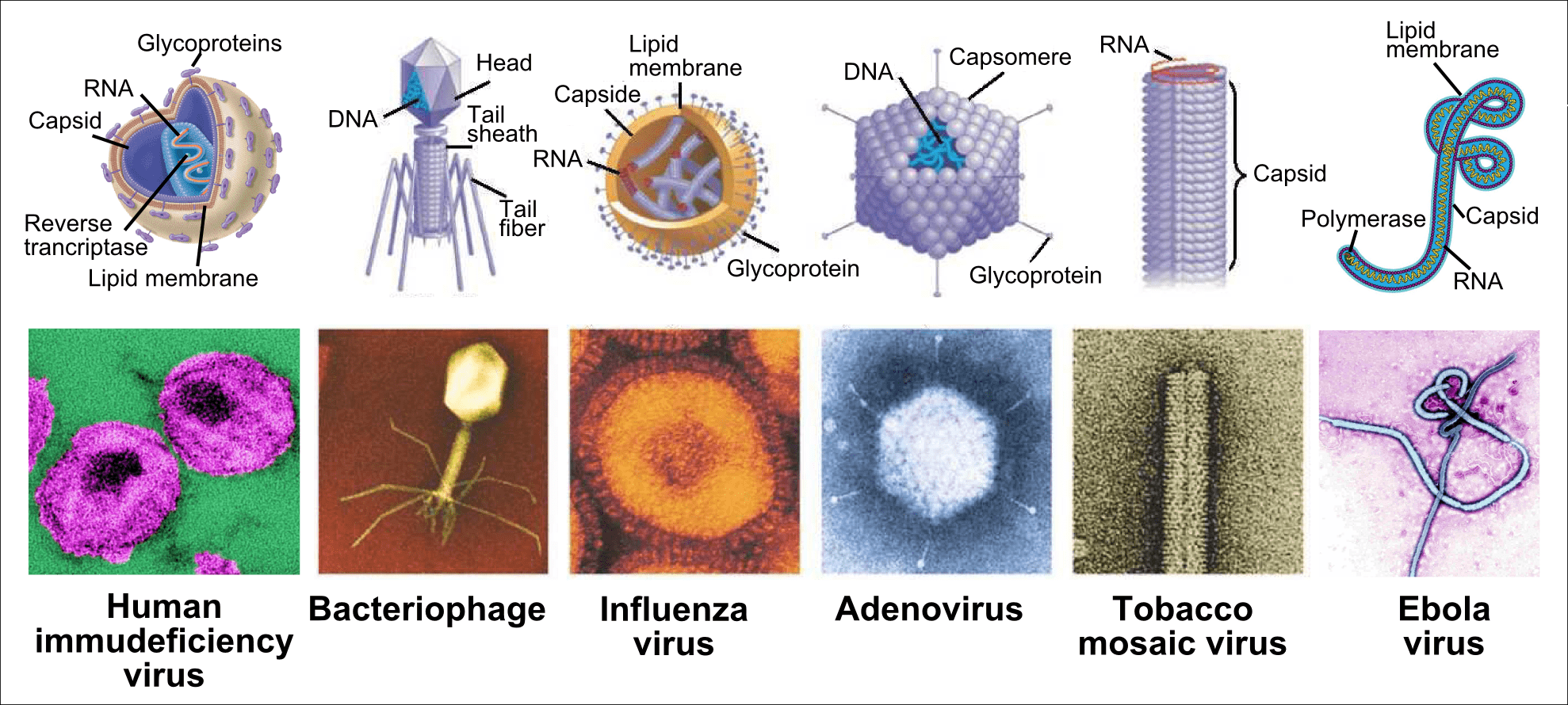 Useful Viruses In Our Organism