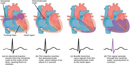 Co Ordination Of Cardiac Cycle