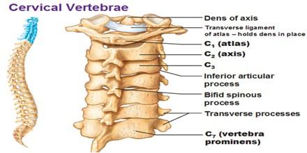 Cervical Vertebrae - Assignment Point