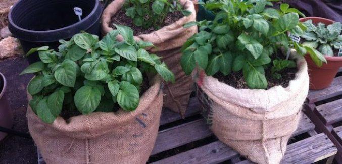 3 sacos de linhagem com plantas de batatas