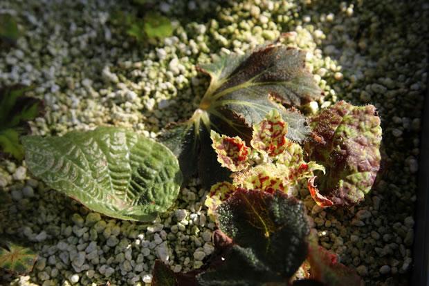 novas plantinhas de begônia nascendo
