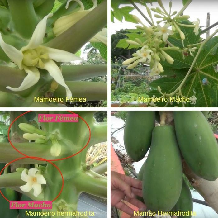 flor de mamao macho, fêmea e hermafrodita