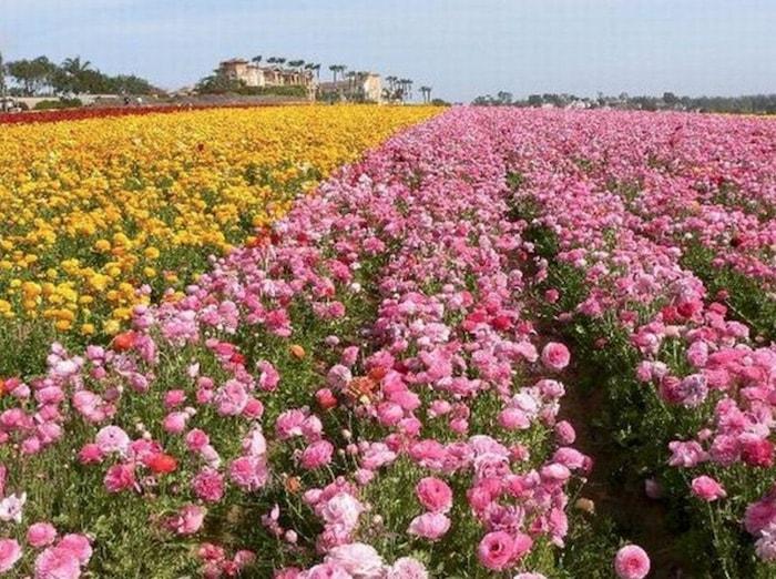 associação de rosas e alho
