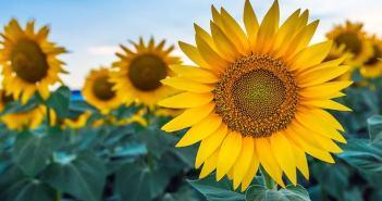 flores de girassol