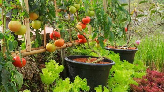 planta de tomate atada numa treliça