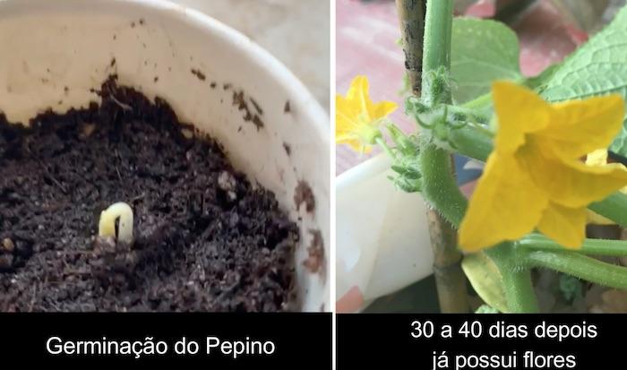 semente germinado e flor de pepino