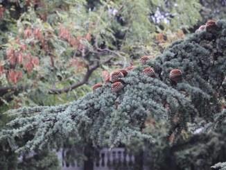 Dal Piemonre arriva l'albero di Natale della Piazza del Comune di Assisi
