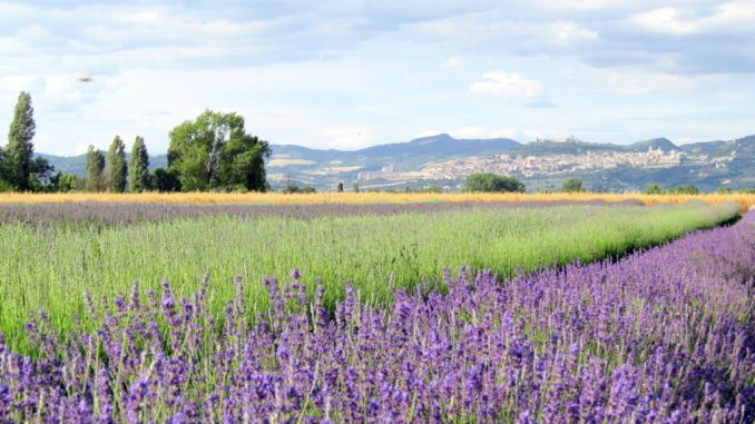 Festa della Lavanda a Castelnuovo di Assisi