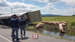 Camion carico di maiali si ribalta, alcuni dei suini sono morti
