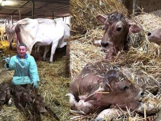 Giorno Santo dell'Immacolata, nella stalla nascono tre vitellini gemelli