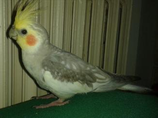 Cercasi Paco disperatamente, è il pappagallo di Roberta