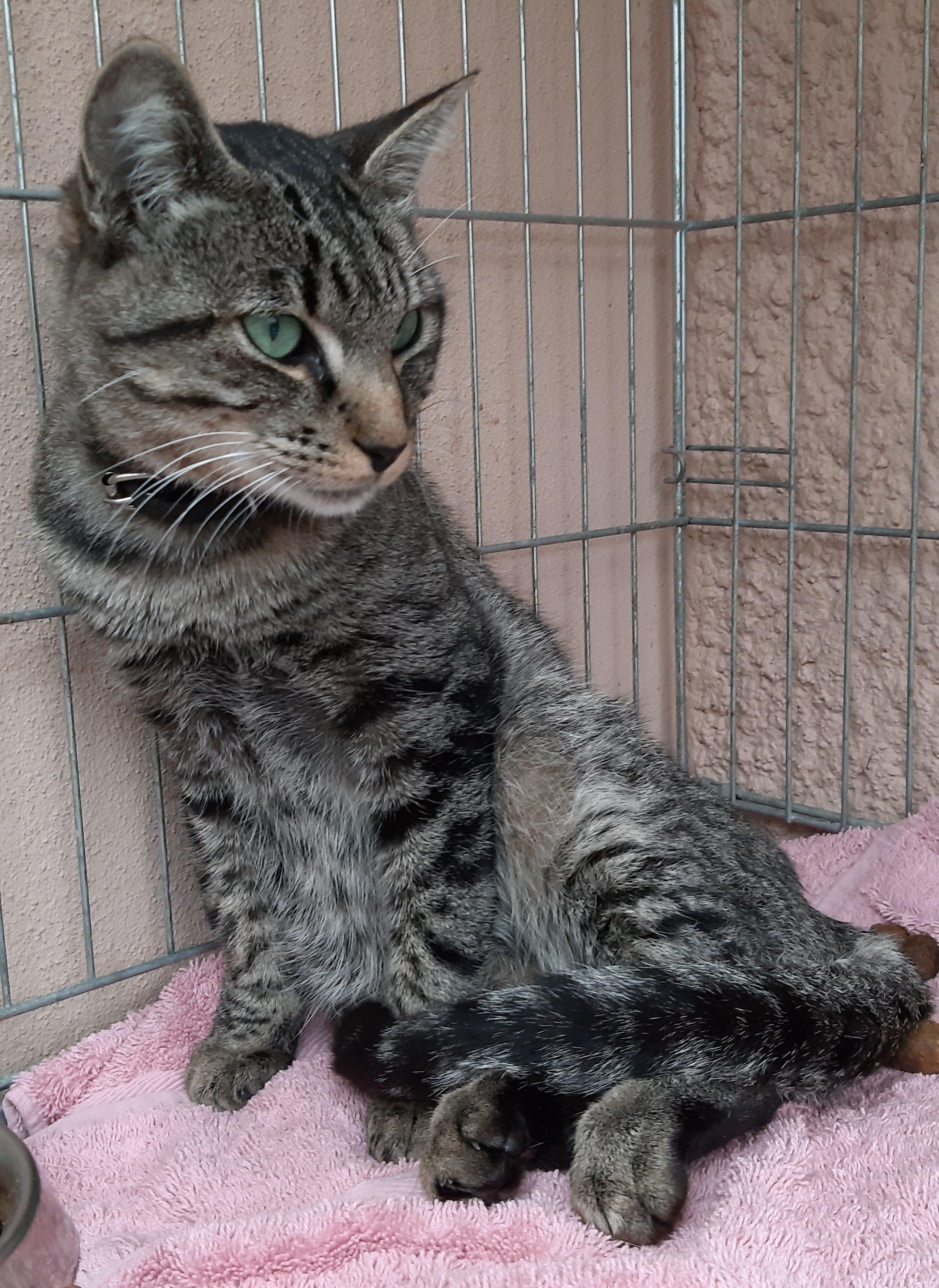 chatte trouvé accidenté montech