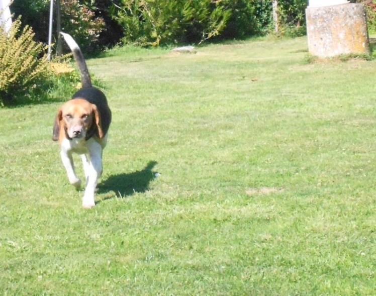 FANFAN - x beagle 8 ans - Asso Galia à Fontenay le Comte (85) Fanfan4