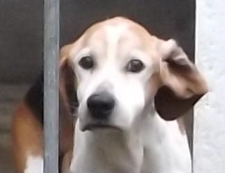 Wilson croisé Beagle