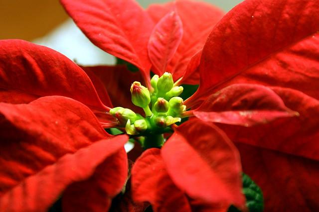Buon Natale cari lettori, eccovi tutte le piante di buon auspicio!