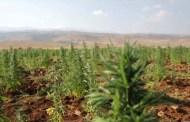 لماذا لا تُشرّع زراعة الحشيشة في لبنان ؟