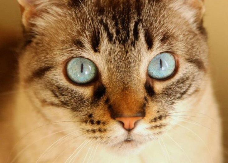 a cat with very blue eyes