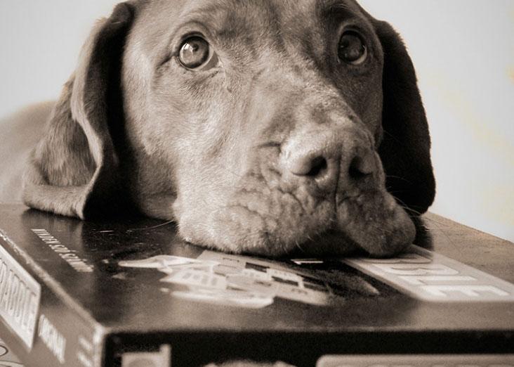 dog resting on scrabble box