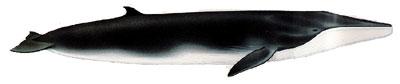 Finnhval