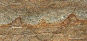 Estas estructuras descubiertas, en Groenlandia, en rocas de 3.700 millones de años de antigüedad, pueden ser colonias fosilizadas de microbios y fósiles más antiguos de la Tierra. Crédito: Allen Nutman/Nature