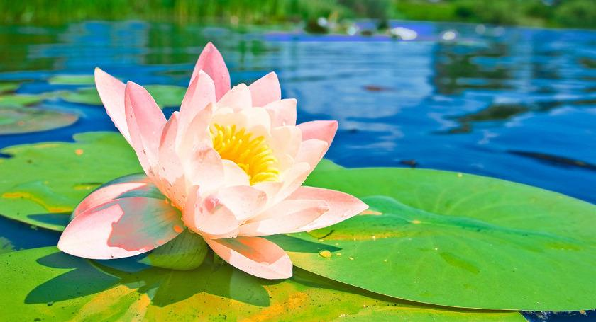 Lotus Flowers  Leaves   Seeds Home Made Medicines   Ayurveda Lotus Flowers  Leaves   Seeds in Ayurveda