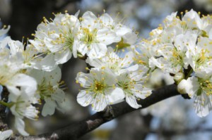 white plum blossoms, Prunus domestica.
