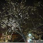 鎌倉・逗子の夜桜花見ドライビン2013