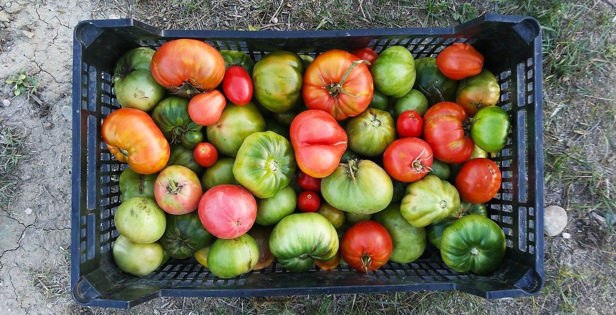 culture tomates sur terrasse