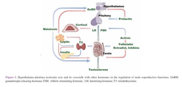 Hormon reproduksi pada sapi jantan
