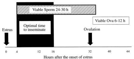 waktu ovulasi sapi betina dan masa hidup sperma