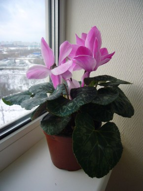 Houseplants in Bloom