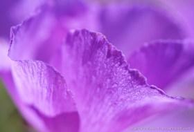 Malvita (Cristaria gracilis), a beautiful fragile flower of Atacama Desert in bloom