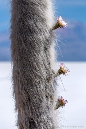 Fluffy cactus: giant Cardon (Echinopsis atacamensis paracana) in full bloom at Isla Incahuasi, Salar de Uyuni, Bolivia