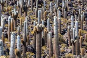Large cardon cactus forest on Isla Incahuasi, Salar de Uyuni