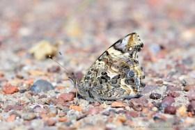Well camouflaged Atacama desert butterfly (Cynthia carye)