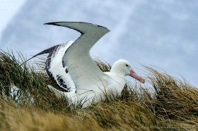 Wandering albatross (Diomedea exulans) with open wings ready for take off, Prion Island