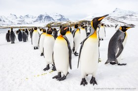 Group of king penguins (Aptenodytes patagonicus) in the snow, South Georgia Island