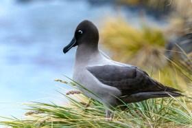 Light-mantled Sooty Albatross (Phoebetria palpebrata), South Georgia Island