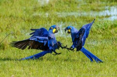 Two fighting Hyacinth Macaw (Anodorhynchus hyacinthinus), Pantanal Brazil