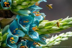 Wasps buzzing around the green-blue coloured flower of Puya alpestris, an endemic bromeliad of Chile